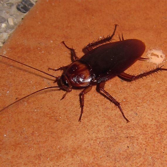 Cucaracha Americana/Roja