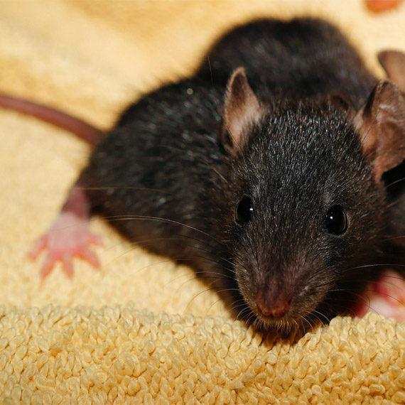 Ratas de Casa